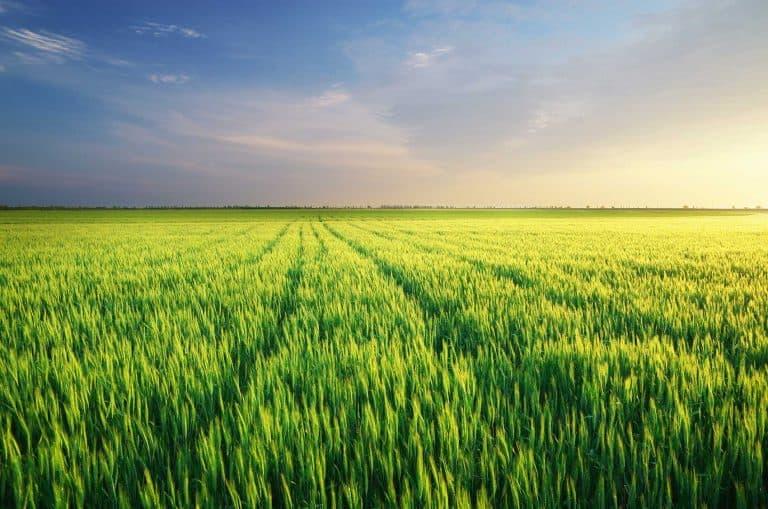 Demo Trial with Manvert Silikon & Foliplus on Wheat