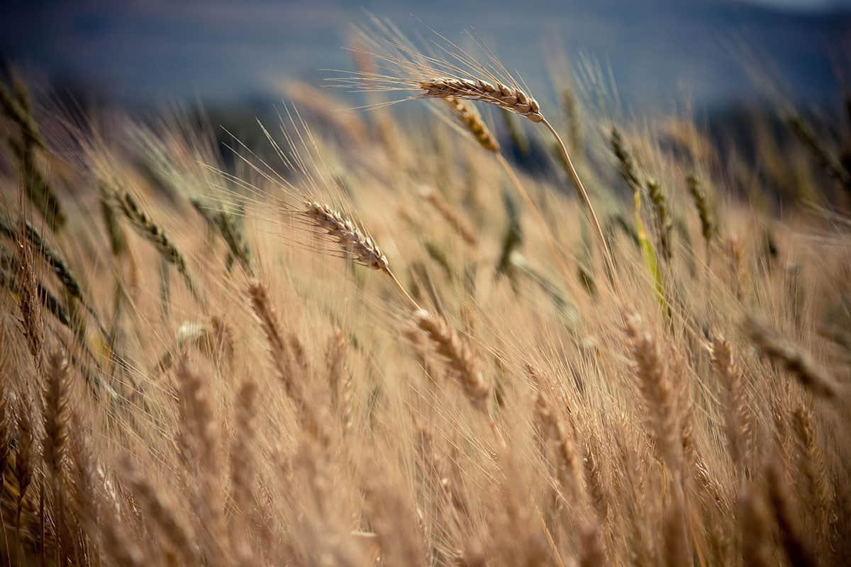 Manvert Stimulant Plus – Improving grain protein quantity.